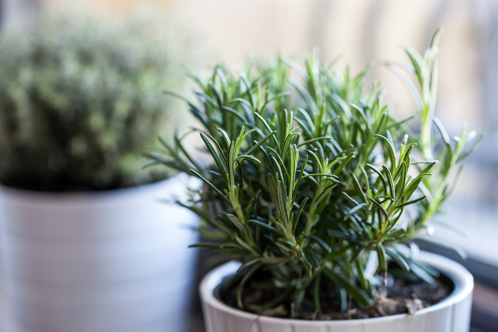 5 Healthy Hacks Using Rosemary Essential Oil